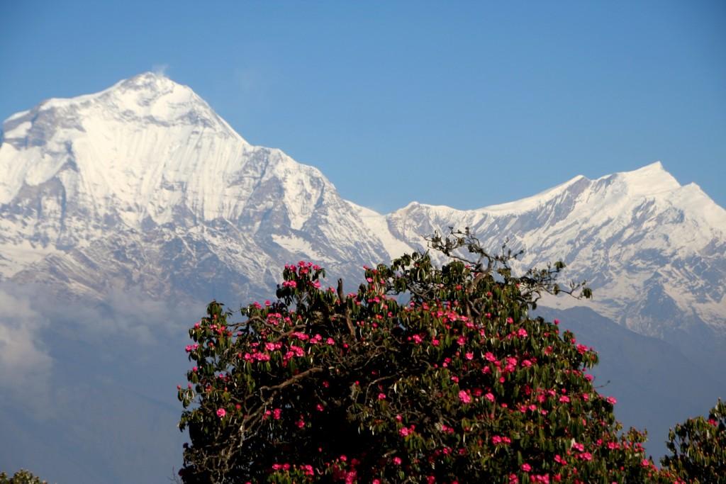 Nepalas Rododendrai ir Anapurnos masyvas