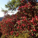 Kelionė į Nepalą -rododendrai kalnuose